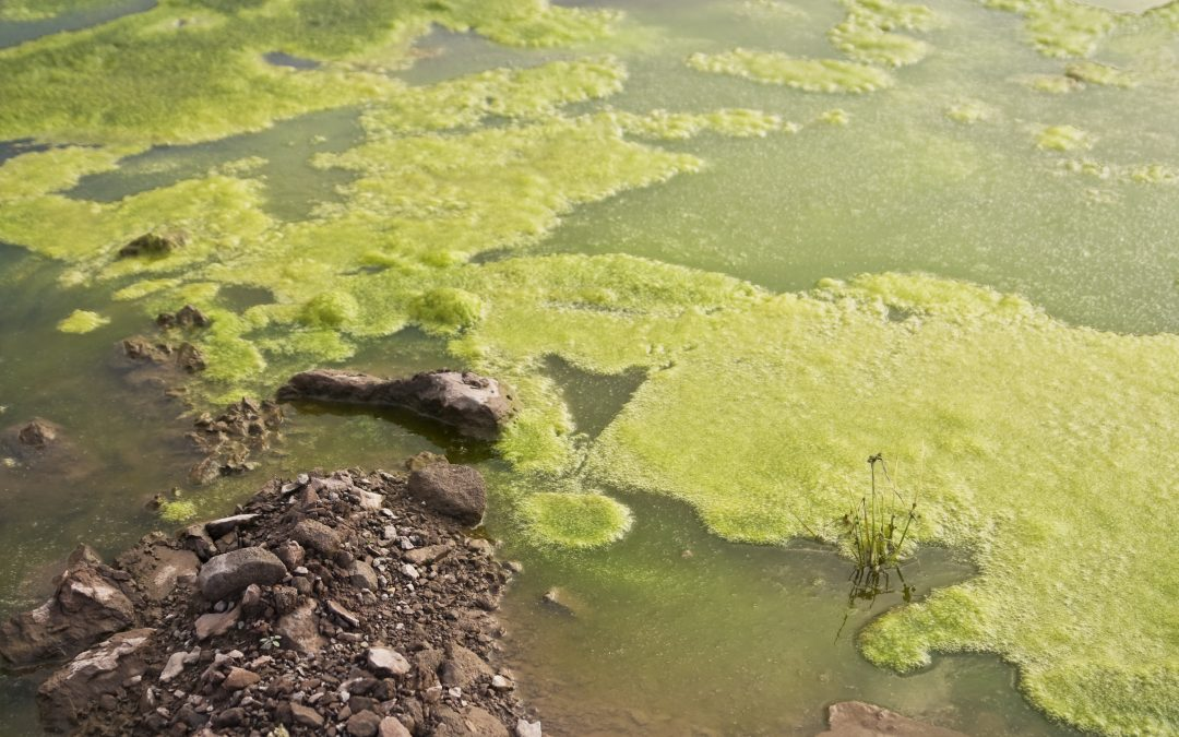 Summer conditions leading to algal blooms in canals, rivers around failed Mid-Michigan dams